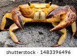 Big orange crab close-up found at lonavla, Maharashtra, India