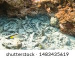 Yellow lipped sea krait (Laticauda colubrina), banded sea krait or colubrine sea krait. Very venomous snake in tropical Indian Ocean. Underwater photo of snake between coral reefs, Phi Phi, Thailand