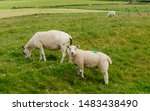 Sheeps Grazing In The Meadow I...