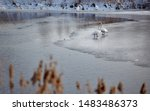 Pair Of Swans On Water Among...
