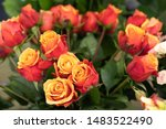 Stock photo selective focus of two color roses yellow petals inside the outer petals are orange 1483522490