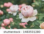 rose flower on background... | Shutterstock . vector #1483531280