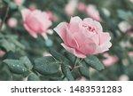 rose flower on background... | Shutterstock . vector #1483531283
