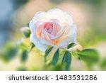 rose flower on background... | Shutterstock . vector #1483531286
