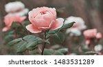 rose flower on background... | Shutterstock . vector #1483531289
