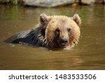 Young Brown Bear  Ursus Arctos  ...