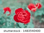 red roses flowers blooming in... | Shutterstock . vector #1483540400