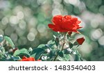 red roses flowers blooming in... | Shutterstock . vector #1483540403
