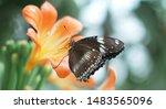 Black Butterfly Sits On Orange...