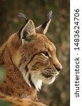 Profile Of Eurasian Lynx  Lynx...