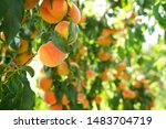 Peach Trees Loaded With Ripe...