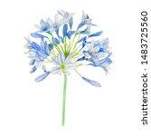 Agapanthus Bloom Flower...