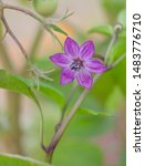 Purple Nightshade Pepper Flowe...