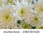 A Macro Photo Of Chrysanthemum...