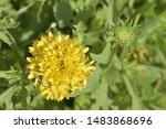 Yellow Blooming Gaillardia...