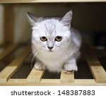 Stock photo cat white and grey british shorthair thinking bad thing hiding in the clothes chest 148387883