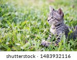 Stock photo kittens on green grass kitten looking at the victim kittens are playing on a green lawn kitten 1483932116