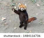 Cute Lesser Panda  Red Panda ...