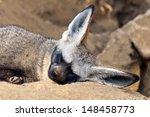 a bat eared fox  otocyon... | Shutterstock . vector #148458773