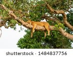 Tree Lions At Queen Elisabeth...