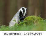 Cute Badger Searching For Food...