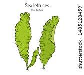 Sea lettuce (ulva lactuca), edible seaweed. Hand drawn botanical vector illustration
