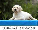Stock photo the nice little labrador puppy on a blue background 1485164780