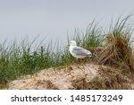 Stock photo the herring gull larus argentatus on the german island amrum oomram germany 1485173249