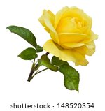 A Single Golden Yellow Rose On...