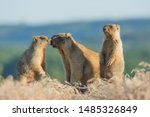 marmot bobac mom and the kids with blurred background
