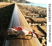Molted Crab Shell On Train Track