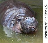 The Pygmy Hippopotamus ...