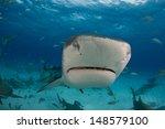 Tiger Sharks At Tiger Beach ...
