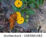 Beautiful Butterfly Feeding On...