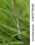 A Hunting Wasp Spider  Argiope...