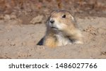 Small photo of CLOSE UP: Brown wild prairie dog comes out of his hole home and starts nibbling on dry grass on sunny day. Cute prairie dog in its grassland habitat in Badlands National Park in South Dakota, USA