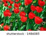 tulips | Shutterstock . vector #1486085