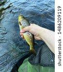 Small river trout, Konnevesi, Finland