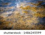 Small photo of Seaweed Up Close Off Maine Coast