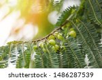 Small photo of Indian Gooseberries or Amla fruit on tree with green leaf / Phyllanthus emblica traditional Indian gooseberry tree for Ayurvedic herbal medicines and snack