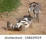 Picture Of The Zebra Rolling I...