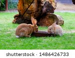 Two Brown Domestic Rabbits...