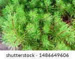 Dwarf Mountain Pine In The Par...