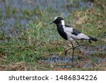 Blacksmith Plover Feeding In...