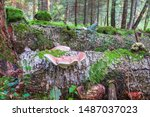 Birch Polypore Growing On A Log ...