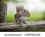Eastern Gray Squirrel On A...