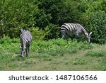 Two Zebras Eating Grass On A...