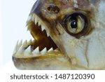 Close up of a piranha fish face