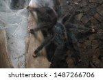 Tarantula. B. Hamorri  A....