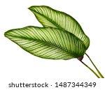 Calathea ornata leaves pin...